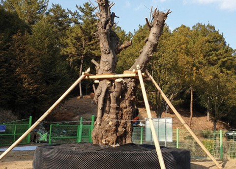 Korea's Largest Paper Mulberry in a New Home (Wed.)