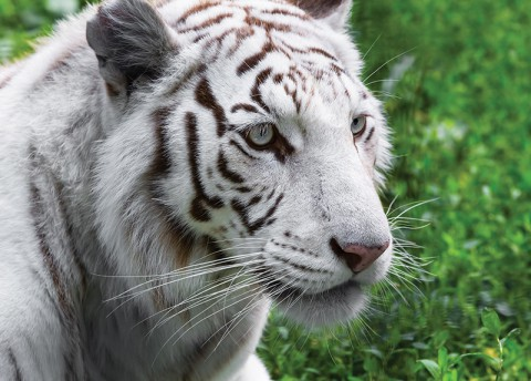 Interesting Facts About White Tigers (Mon.)