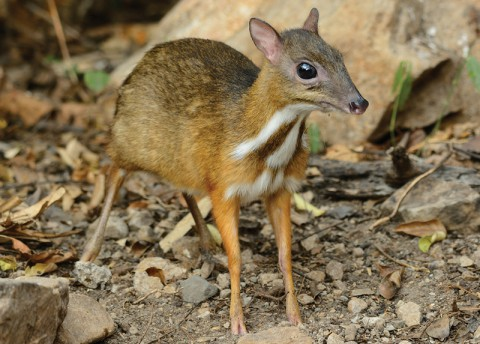 Mouse-Deer Spotted in Vietnam [Thu]