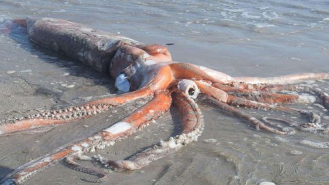Giant Squid Washes Up on South African Beach (Thurs.)