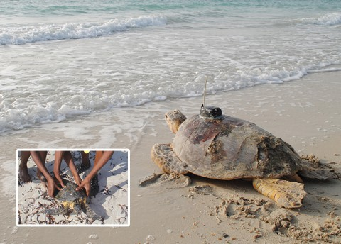 Kenya Is Balancing Turtles and Tourism (Fri)