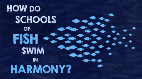 How do schools of fish swim in harmony?
