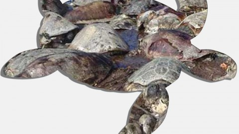 Another Group Of Sea Turtles Found Dead (Fri)